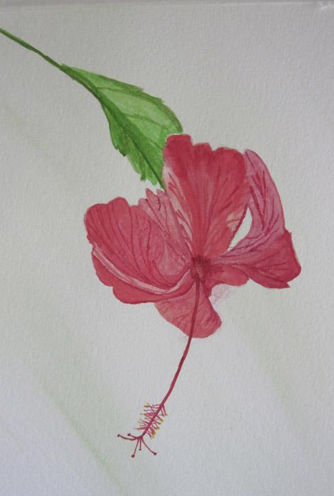 Hibiscus Bloom - Karin