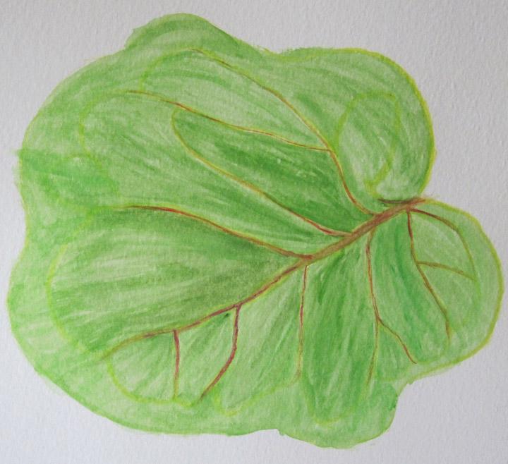 Seagrape Tree Leaf - Deb