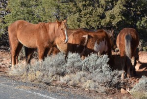 Horses North Rim 3