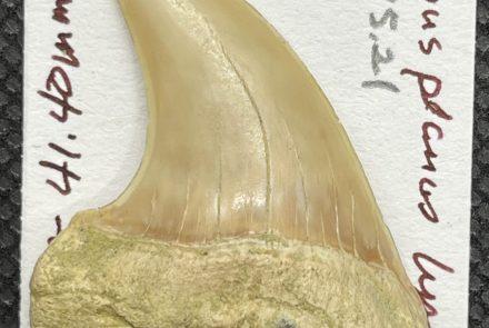 Hook-Tooth Mako Isurus planus