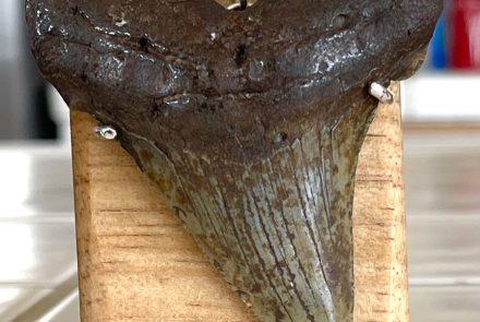 Fossil Shark Tooth Pendant – Angustidens